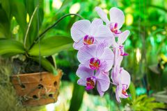 Purple Orchid flower, beautiful Royalty Free Stock Image