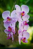 Purple Orchid flower, beautiful Royalty Free Stock Images