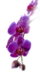 Purple Orchid Flower Royalty Free Stock Photography