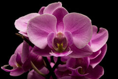 Purple Orchid Flower. On a black background Stock Image
