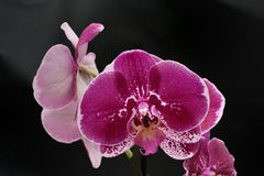 Purple Orchid flower  on black Royalty Free Stock Image