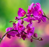 Purple orchid flower on blur background Royalty Free Stock Images