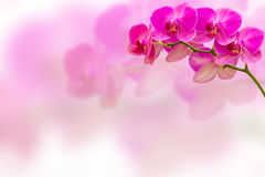 Purple orchid flower on blur background with copy space for your text. Royalty Free Stock Image