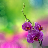 Purple orchid flower on blur background Royalty Free Stock Photo