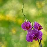Purple orchid flower on blur background Stock Images
