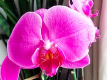Purple orchid flower, close up Royalty Free Stock Images