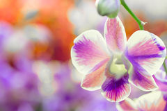 Purple orchid flower with colourful background Royalty Free Stock Images
