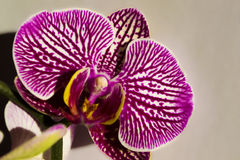 Purple orchid flower Stock Photo