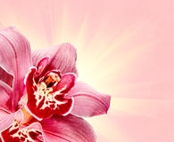 Purple Orchid Flower Royalty Free Stock Images