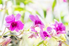 Purple orchid flower in the garden , colorful flowers.  Royalty Free Stock Photo