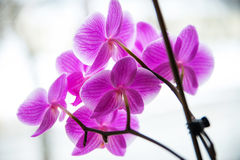 Beautiful and fragile orchid flower Stock Image