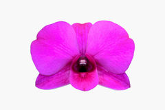 Purple Orchid Flower isolated Royalty Free Stock Photo