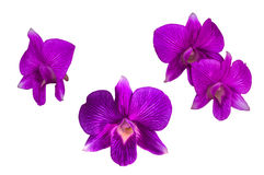 Purple orchid flower. Isolated on white Stock Photography