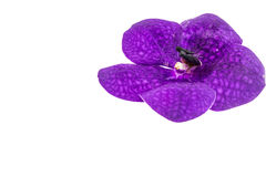 Purple orchid flower, isolated on white Stock Photos