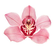 Purple Orchid Flower Stock Images