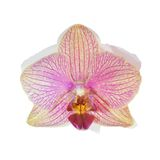 Purple Orchid Flower isolated Stock Images