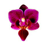 Purple orchid flower isolated on white background Royalty Free Stock Photography