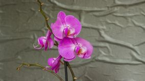 Purple orchid flower phalaenopsis. Close-up royalty free stock images