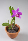 Purple orchid flower in a pot Stock Photography