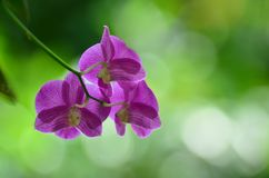 Purple orchid flower. Royalty Free Stock Photos
