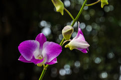 Purple orchid flower Royalty Free Stock Photos