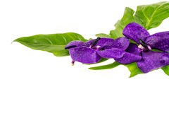 Purple orchid flower,violet orchid  with  green leaf  isolated o Royalty Free Stock Photo
