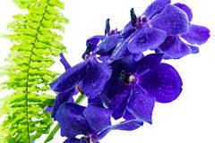 Purple orchid flower, violet orchid isolated on white Stock Photo