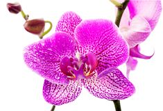 Purple orchid flower Stock Photos