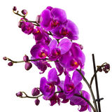 Purple orchid flower on white background Royalty Free Stock Image