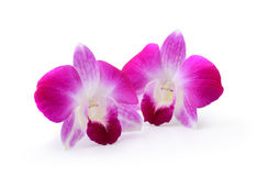 Purple Orchid Flower on white background Stock Image