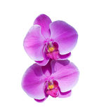 Purple orchid flowers Royalty Free Stock Photography