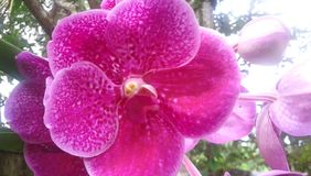 Purple Orchid flowers in an air orchid plant. stock photo