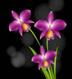 Purple orchid flowers with black background Royalty Free Stock Photography
