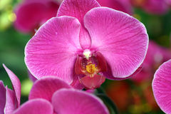 Purple orchid flowers in bloom. Closeup of purple orchid flowers in bloom Royalty Free Stock Photos
