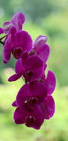 Purple orchid flowers blooming in park Royalty Free Stock Photo