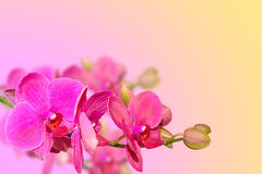 Purple orchid flowers branch on blurred gradient Royalty Free Stock Image