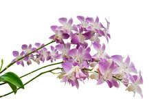 Purple orchid flowers branch isolated on white background royalty free stock images