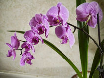 Purple Orchid Flowers in Burnley Lancashire Royalty Free Stock Photos
