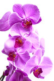 Purple orchid flowers close up on white Stock Images