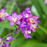 Purple orchid flowers. Closeup beautiful Purple orchid flowers on green nature background Royalty Free Stock Images