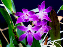 Purple orchid flowers. With greed leaves on black background Royalty Free Stock Photos