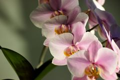 Purple Orchid flowers with green leaves on grey background in contrasting light. Background image, magazine royalty free stock images