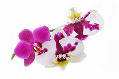 Purple orchid flowers isolated on white. Stock Photos