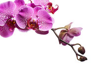 Purple orchid flowers Stock Photos