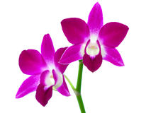 Purple orchid flowers isolated on white background Stock Photos