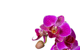 Purple orchid flowers isolated on white background Royalty Free Stock Image