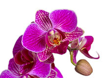 Purple orchid flowers isolated on white background Stock Photography