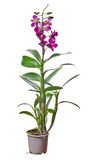 Purple orchid flowers in pot isolated on white Royalty Free Stock Image