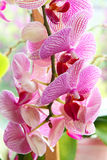 Purple orchid flowers. Royalty Free Stock Photography