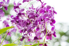 Purple orchid flowers on tree Stock Photography